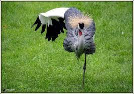 kraanvogel-een-poot